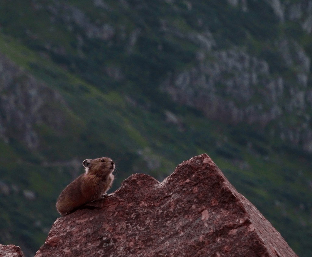 american-pika-giving-alarm-calls-in-the-morning