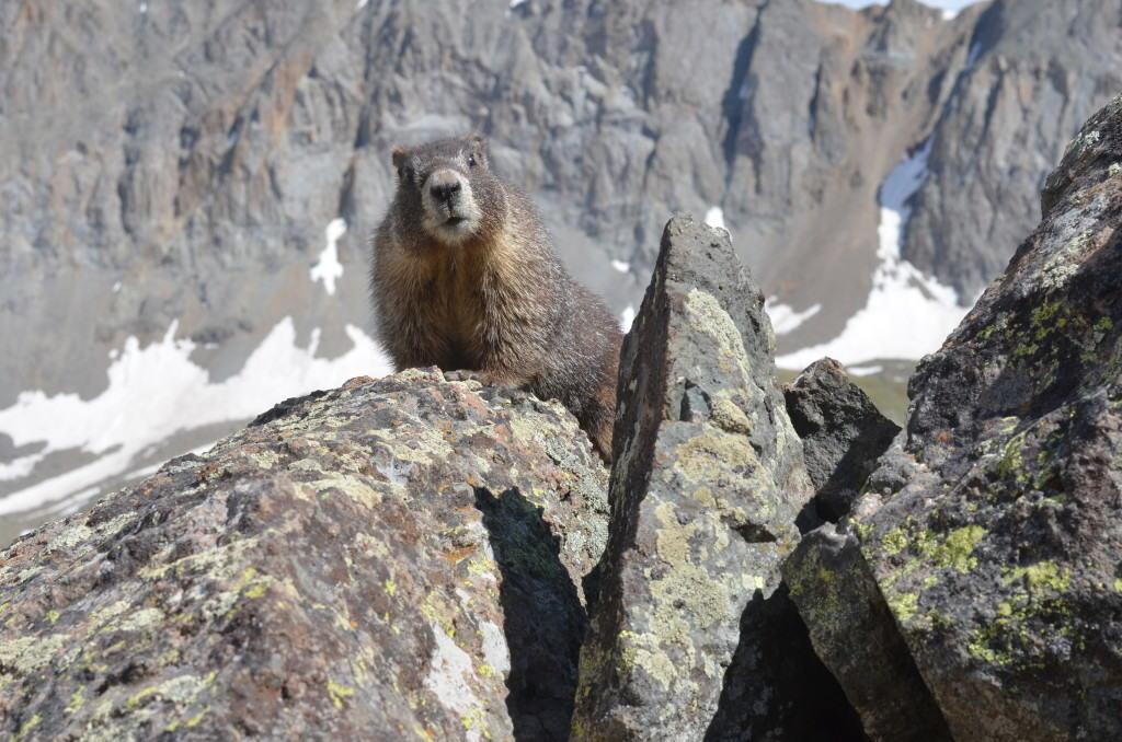 Marmot (aneesa)
