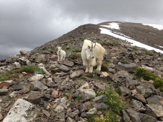 Mountain Goats (margaret)